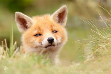 Hellowwww World .:. Red Fox Kit
