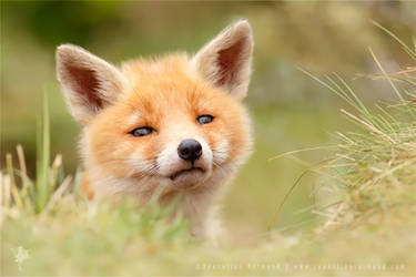 Hellowwww World .:. Red Fox Kit by thrumyeye