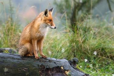 Rain Fox by thrumyeye