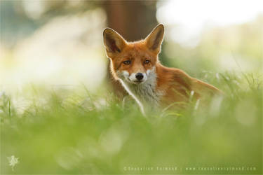 Young Red Fox by thrumyeye