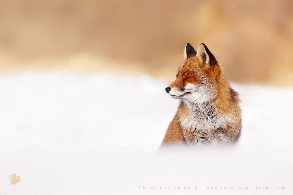 Happy Fox is Happy - Red Fox in the snow by thrumyeye