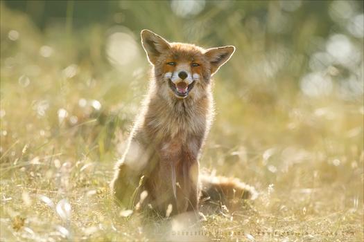 Happy Fox is Happy - Summertime by thrumyeye