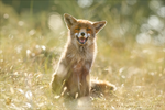 Happy Fox is Happy - Summertime