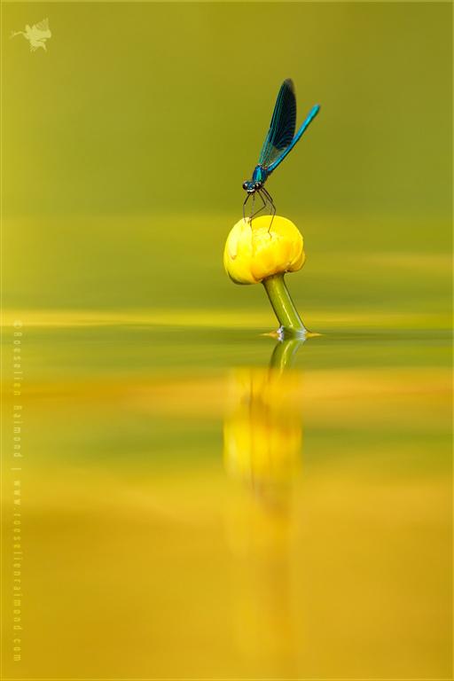 Yellow River _ Banded Demoiselle Reflections by thrumyeye