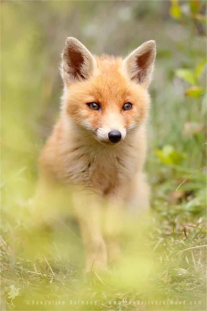 Fox behind the Ferns by thrumyeye