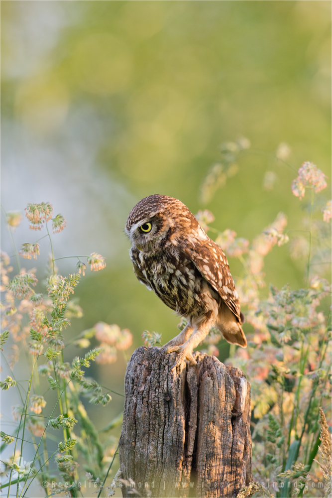 Anticipation _ Little Owl Staring At Its Prey by thrumyeye