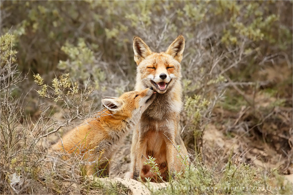 Happy Mother and Son - Vixen and fox kit