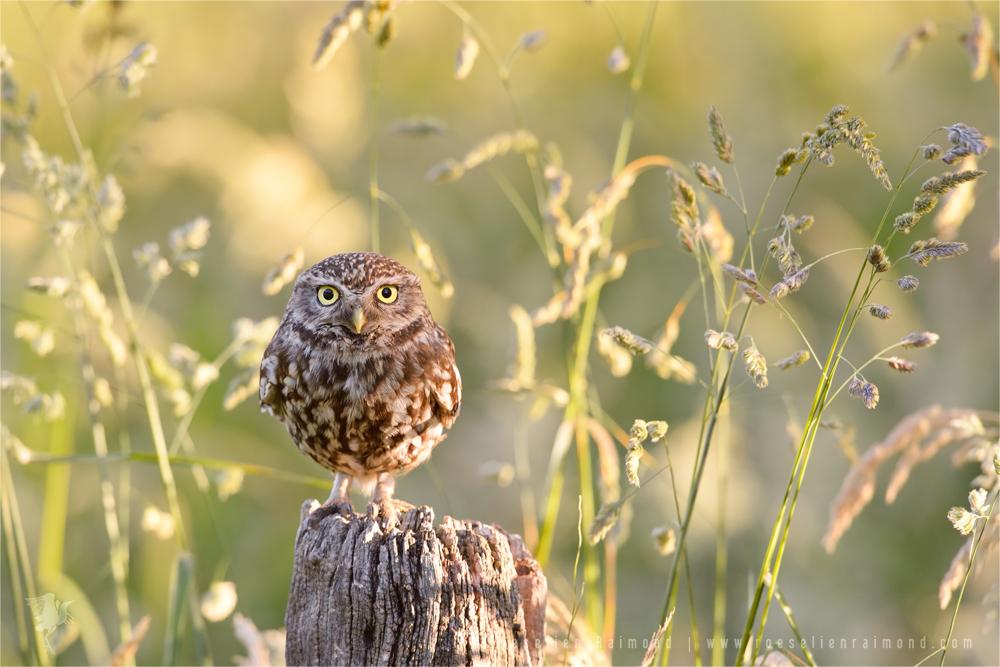 Litte Owl, Big World by thrumyeye