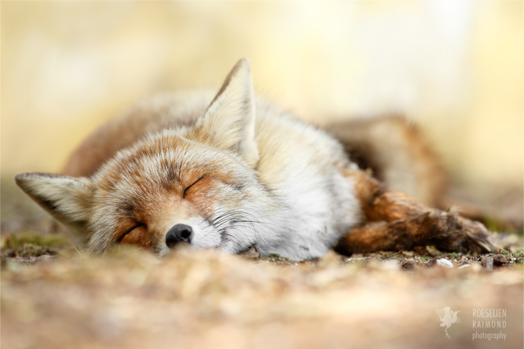 Sleeping Beauty _ Red Fox taking a nap