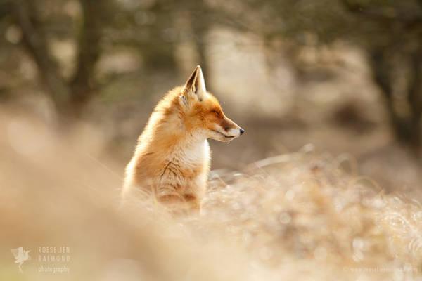 Zen Fox series: Forest Fox