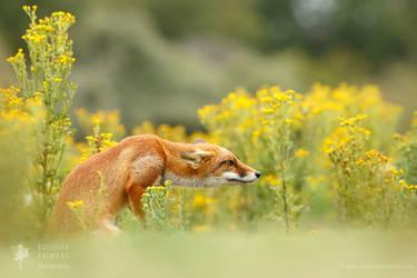 Flower Fox by thrumyeye