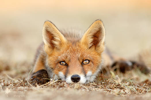 What Does The Fox Think?