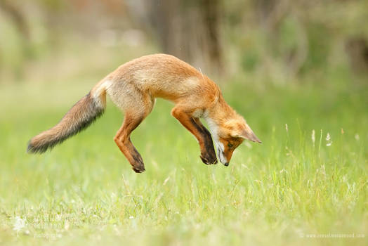 Jumping Red Fox