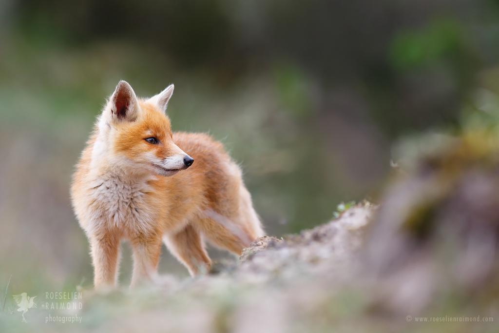 Items similar to Cute Baby Fox - Colorado 8x10 Fine Art ... |Vector Cute Baby Fox