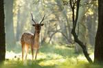 Zen Deer