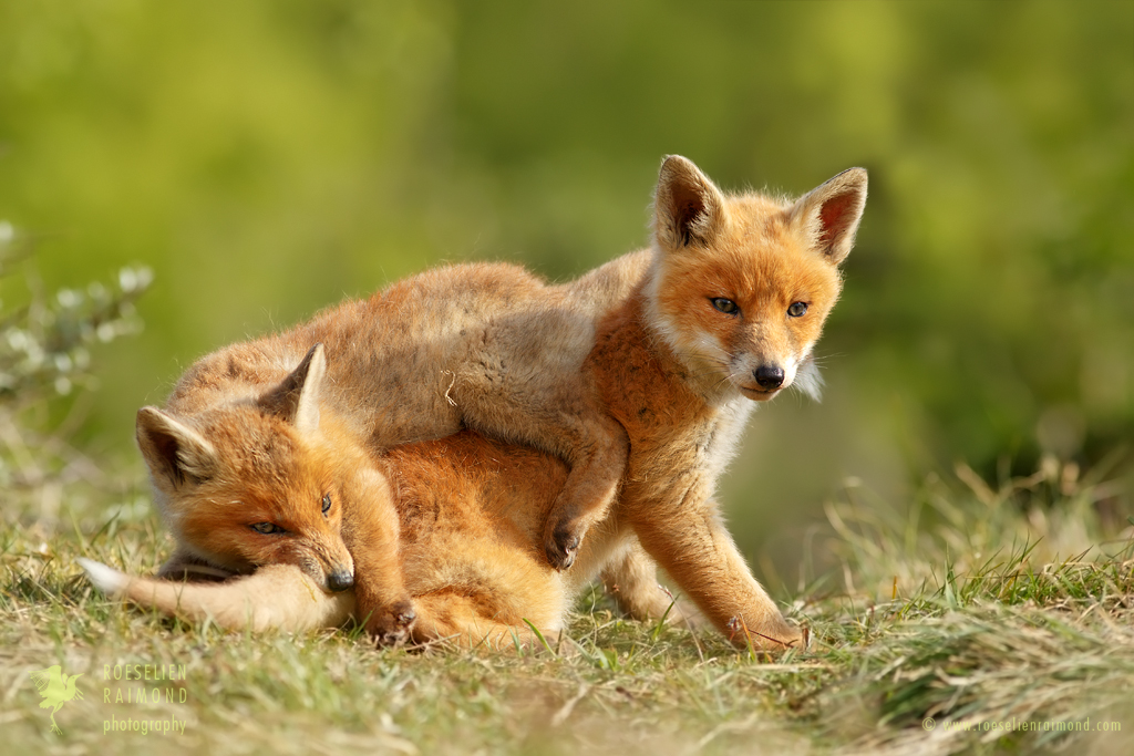 Gonna Eat Your Tail, Bro - Playing Fox Cubs by thrumyeye