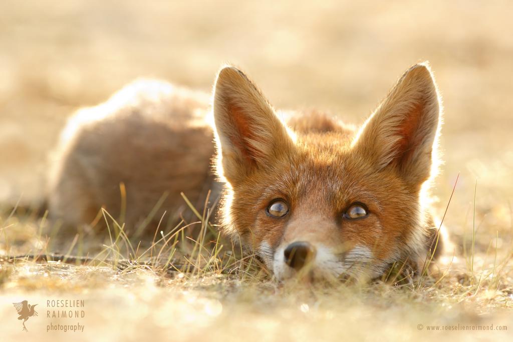 Little Fox Dreaming of a Foxy Future by thrumyeye