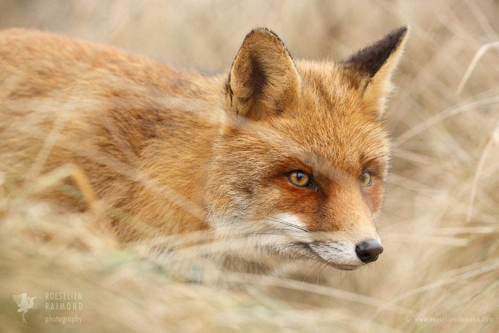 Red Fox on the Hunt by thrumyeye