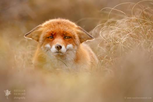 Suspicious Fox
