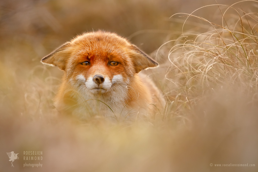 Suspicious Fox by thrumyeye