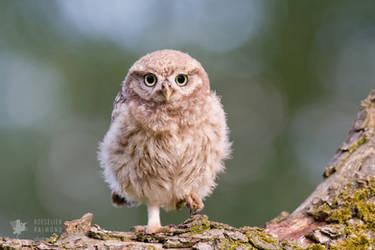 Little Owl Chick by thrumyeye