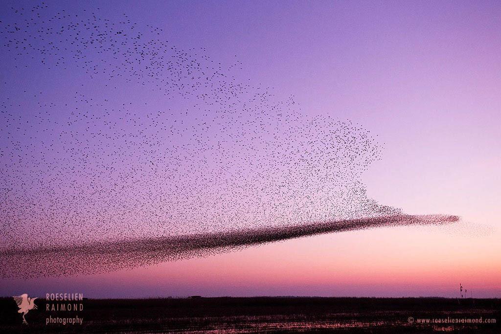 Starling Murmuration by thrumyeye