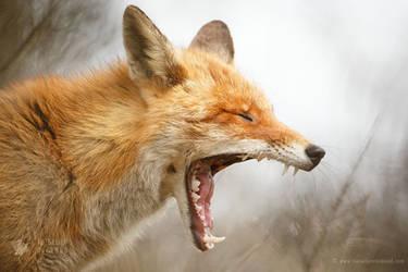 Waaaaaaaaaaaaaaaaaake Up - Yawning Red Fox by thrumyeye