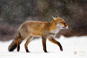 Cold as Ice - Red Fox in a Snow Blizzard