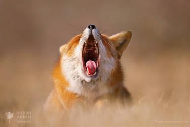 Lazy Fox is Lazy by thrumyeye