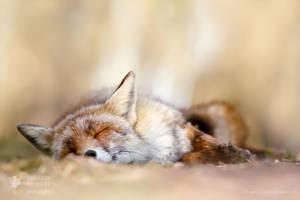 Sleeping Red Fox by thrumyeye