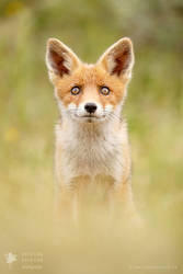 Hungry Eyes - Red Fox Kit