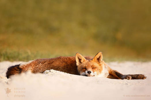 Lazy Fox is Lazy