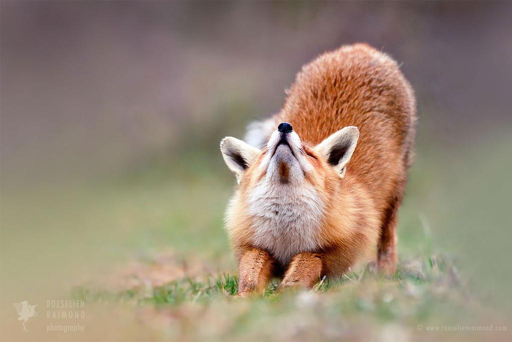 Downward Fox by thrumyeye
