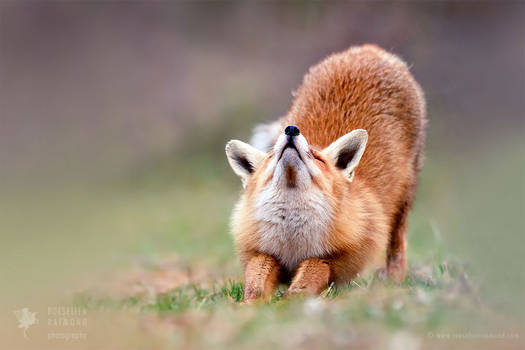 Downward Fox