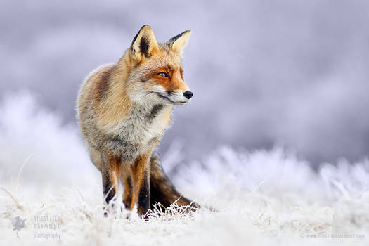 The Red, White and Blue - Red Fox in white wintery