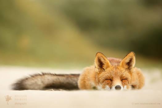 Sleepy Fox is Sleepy....