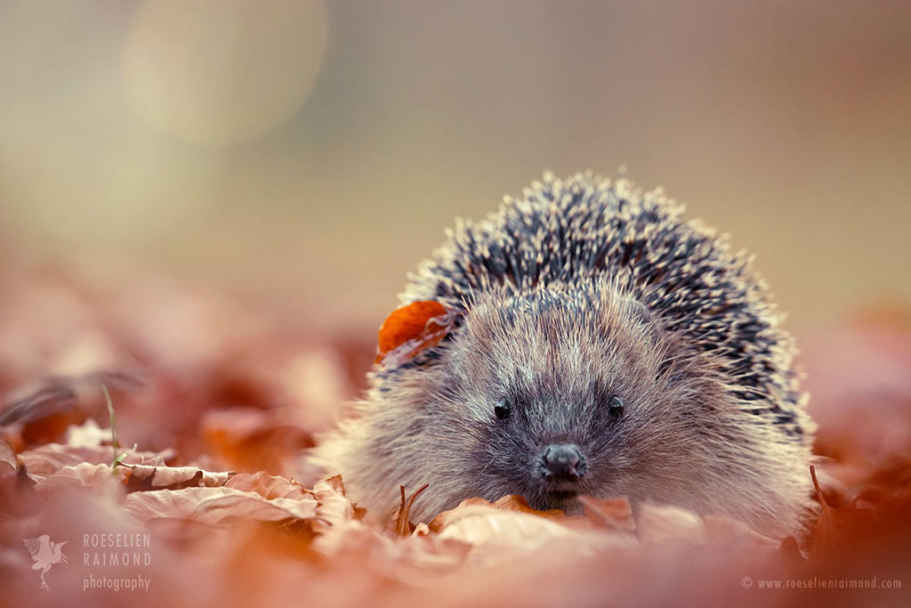 The Happy Hedgehog by thrumyeye