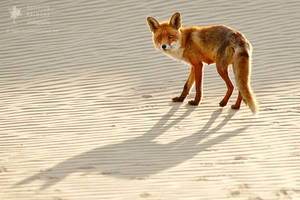 Red Fox Chased by its Shadow