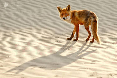 Red Fox Chased by its Shadow by thrumyeye