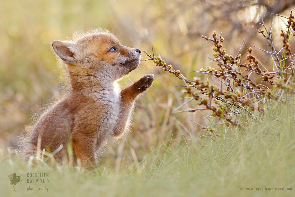 Baby Fox by thrumyeye