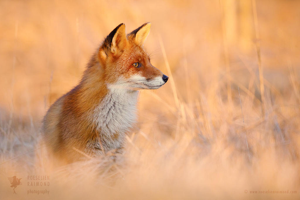 Focused Fox by thrumyeye