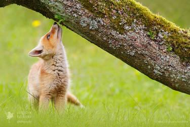 Red fox baby expolring this brand new world by thrumyeye