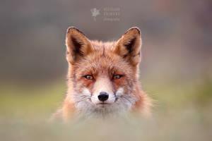 Fantastic Mr. Fox by thrumyeye