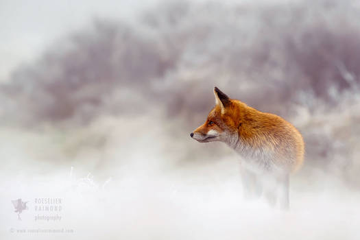 Red Fox in Snow World