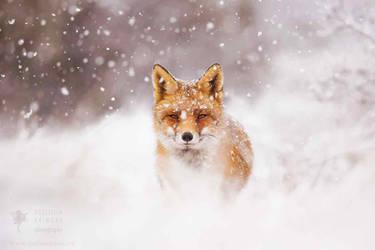 Fairytale Fox- Red Fox in the Snow