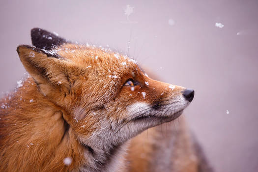 The Fox and the Snowflake