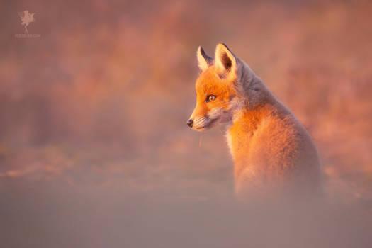 A New Life - Fox Kit at Sunset