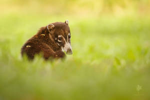 Pura Vida - Coati an the grass
