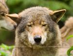 Woof, I'm a wolf.....