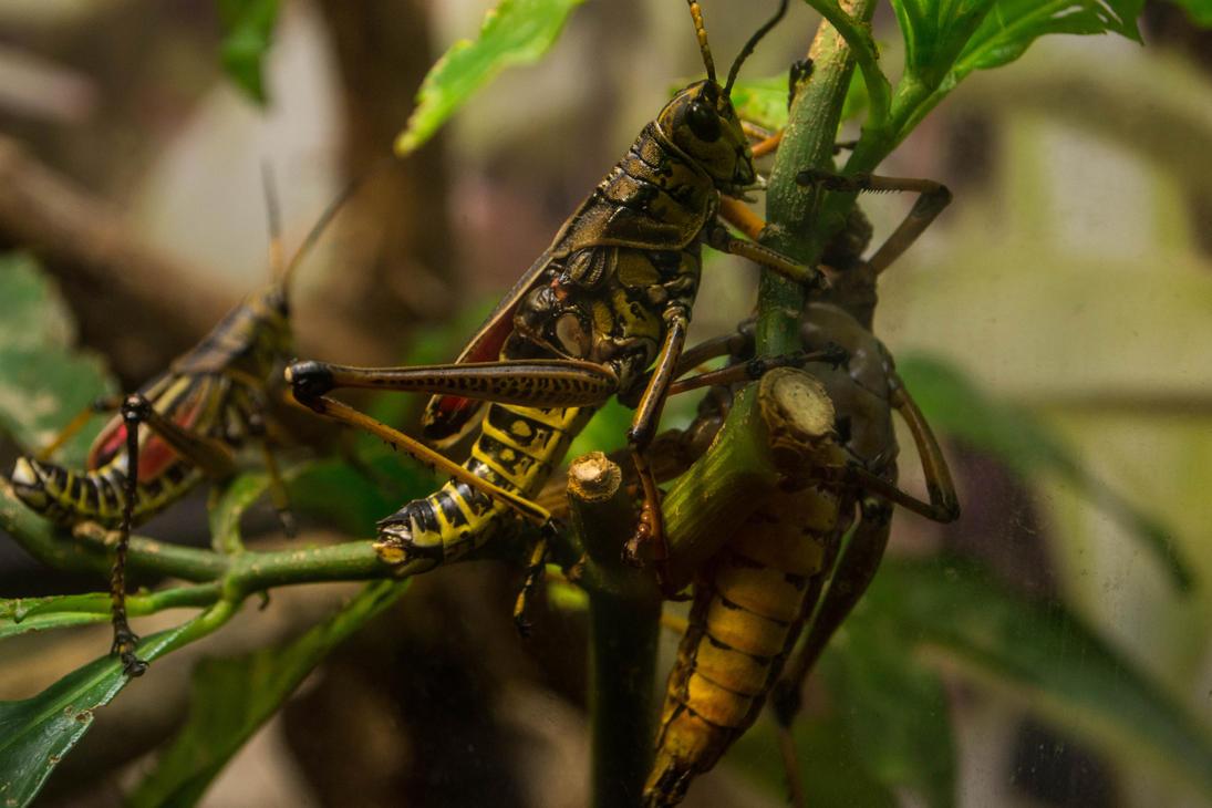 grasshoppaaa by helios-c7